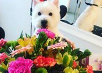 Huckleberry - west highland white terrier