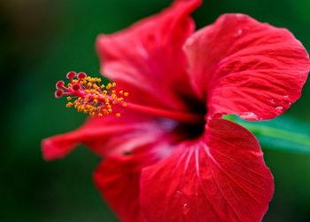 Studio Kosmetologii Looksus - hibiscus flower mandelic peel