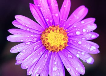 Dianthus Day Spa  - aster